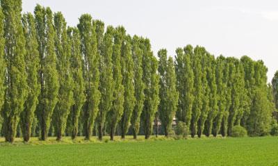 poplar-lombardy-1-400-01_grande.jpg