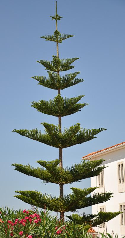 Araucaria-heterophylla-39512-134847847012381.jpg